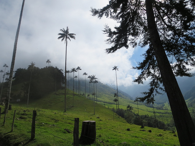 Wax palm in Corcora Valley